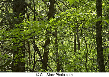 JW_021_106_05 - Spring Foliage, Great Smoky Mtns National...