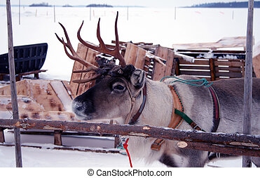 Reindeer Camp - Lapland - A reindeer camp on the Baltic Sea...
