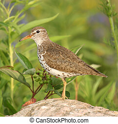 You\'ve been spotted - Spotted Sandpiper