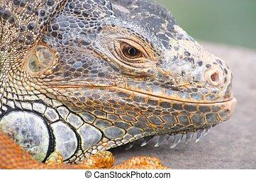 Iguana - Pet iguana