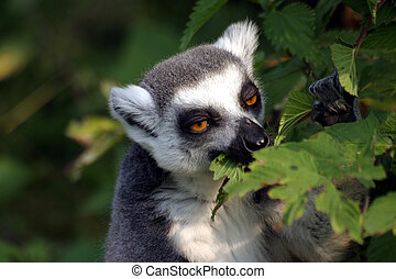 Lemur catta - Ring-tailed lemur