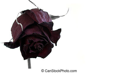 Dead rose isolated on white background