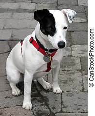 Jack Russell Terrier pup wearing red collar