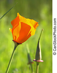 Poppy and bud - California poppy