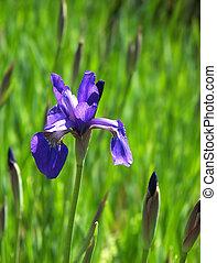 Iris in field