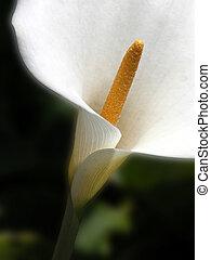 Calla - CLose up of calla lily