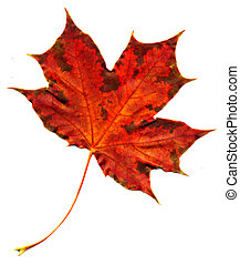 Autumnal red maple leaf - A perfect autumnal leaf,...