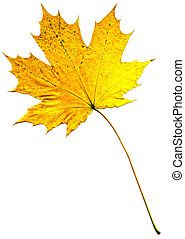 Perfect autumnal leaf - A perfect autumnal leaf, displaying...