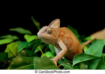 Bearded Dragon - bearded dragon lizard on leaves