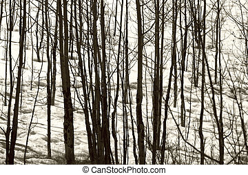 Winter Abstract - Aspen trees in the snow form a winter...