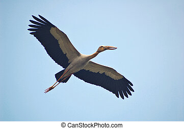 Flying stork - Flying openbill stork