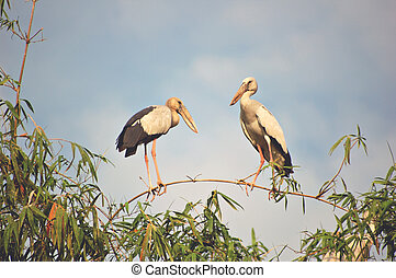 Two storks - Openbill storks in Thailand