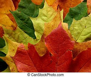 Traffic lights - Leaves, maple