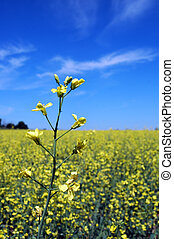 canola - Canola flower in field with blue sky