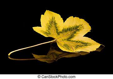 Golden Leaf - Golden autumn leaf on a black reflective...
