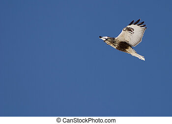 Soaring - Rough Legged hawk in flight