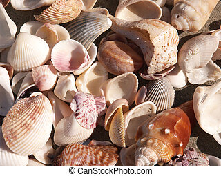 Seashells Close-up - Close-up of sea shells in various sizes...