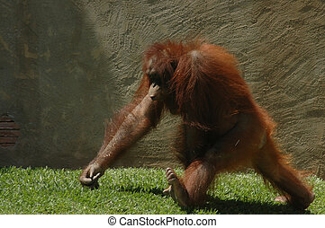 Walking Orangutan in Fuengirola Zoo Spain