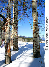 Amongst The Aspens - Aspen trees in winter