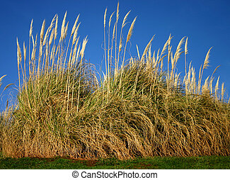 Pampas grass, a very tall ornamental grass Gynerium...