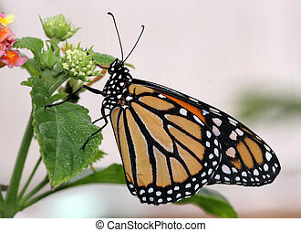 Monarch Butterfly - Closeup of a monarch butterfly on a...