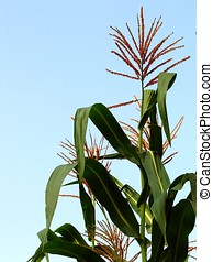 Large Corn Plant - -- at the apex of the stem you can see...