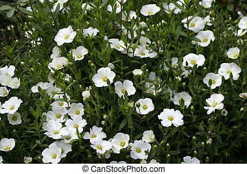 White Flowers - White little flowers