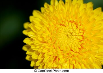Closeup Yellow Mum - Yellow chrysanthemum closeup taken at...