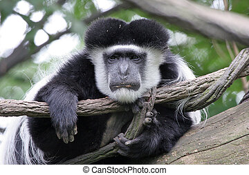 Lazy Colobus Monkey - Tired and sad looking Colobus monkey...