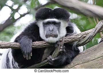 preguiçoso, colobus, macaco
