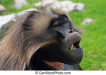 Tired Baboon - Sleepy looking Gelada Baboon