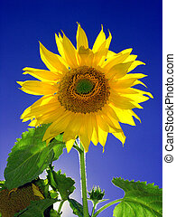 one Sunflower - Colorful Sunflower