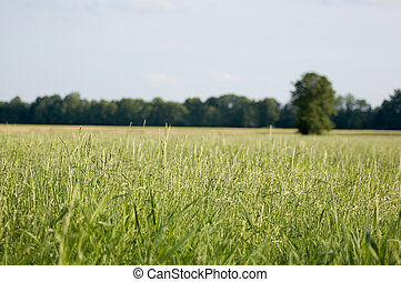green field, blue sky - summer field with green grass and...