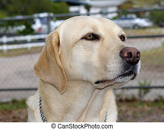 Guide Dog - A guide dog that is off duty.