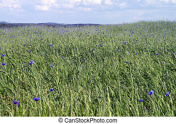 Field - A field of rye with cornflowers
