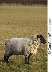 Black Faced Sheep In Profile