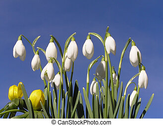 Spring flowers - Group of winter snowdrop and a couple of...