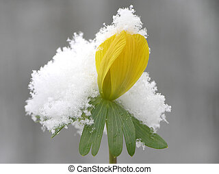 winter aconite - Yellow winter aconite bud against with a...