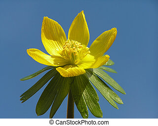 winter aconite - Yellow winter aconite bud against clear...