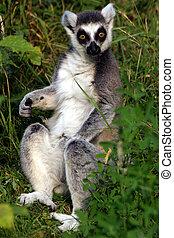 Lemur catta - Ring-tailed lemur