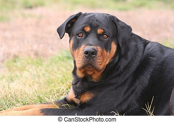 Female Rottweiler - 2-year-old female Rottweiler, laying...