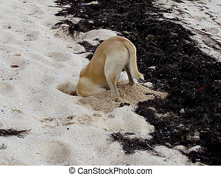 Digging Dog - Dog with head buried in the sand hunting for...