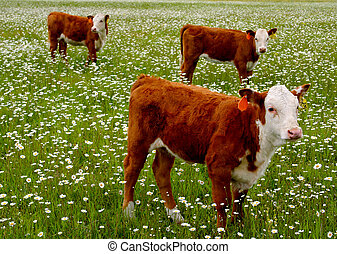 In The Daisies - Cattle Grazing