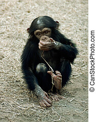 Animal - chimpanzee - A young chimpanzee pan troglodyte eats...