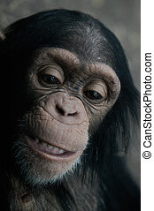 Chimpanzee Pan Trog - The close-up portrait of a young...