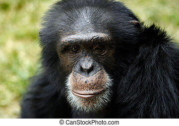 Animal - Chimpanzee - The close-up portrait of an adult male...