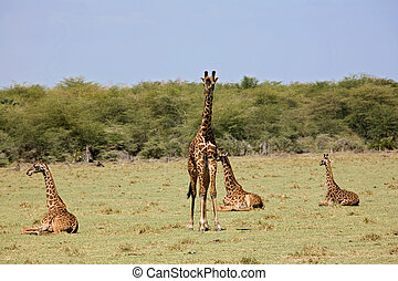 animals 005 giraffe africa manyara lake
