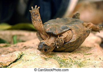 Overturned turtle is trying to get back to feet.
