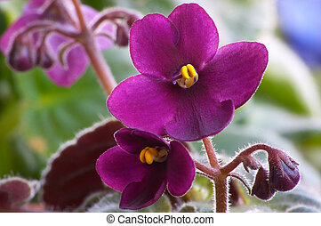 African viole 3 - Macro of African violet