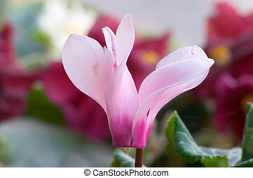 Cyclamen - Macro of cyclamen flower